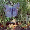 Mission Blue Butterfly and Corn, 2010